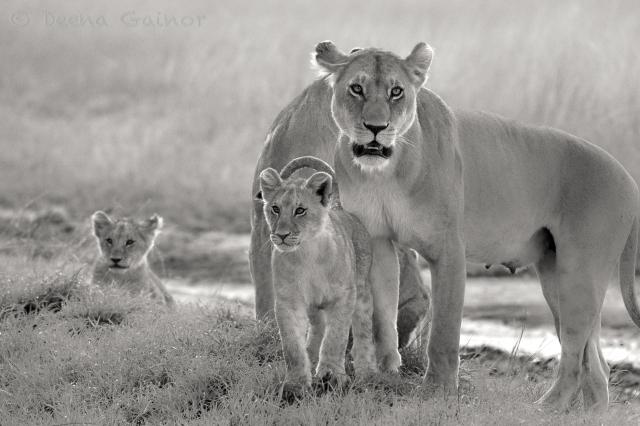 GG Lioness Cubs WM