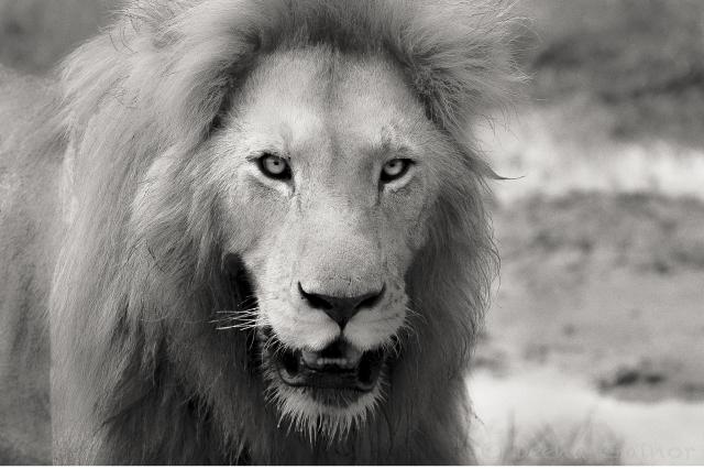 2013 Africa Lion Stare BW NIK WM