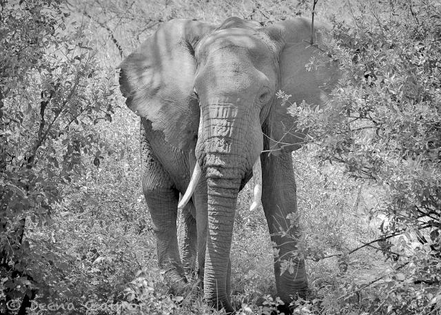 2013 Zen Elephant Manyara BW WM