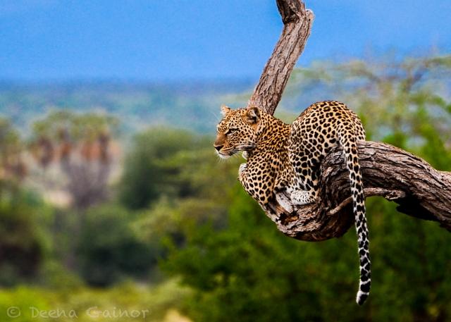 GG Leopard resting WM