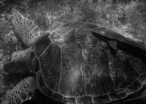 GG Blog Akumal Turtle Sucker 1 LR BW WM