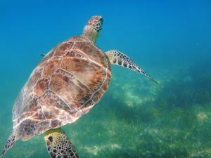 Turtle 9-Akumal