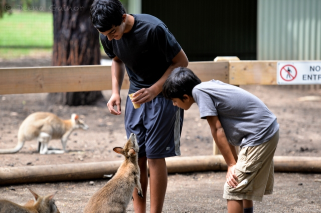 Meeting Kangaroos and Wallabys