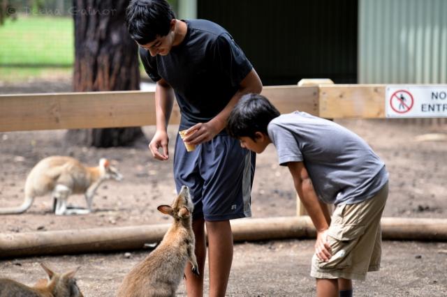 Meeting Kangaroos and Wallabys