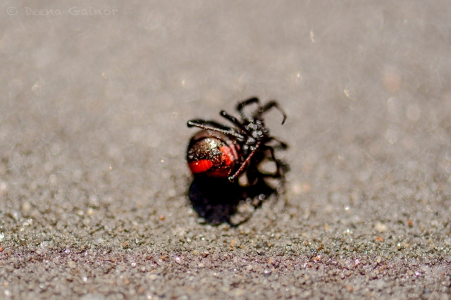 The Redback Spider - poisonous!