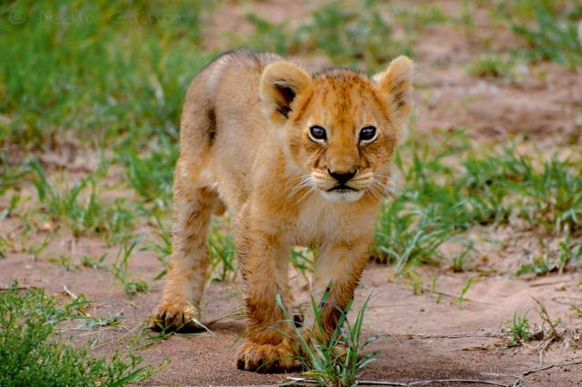Lion Cub in the Mara, Kenya 2013