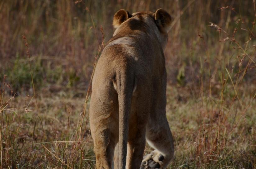 female lion 10