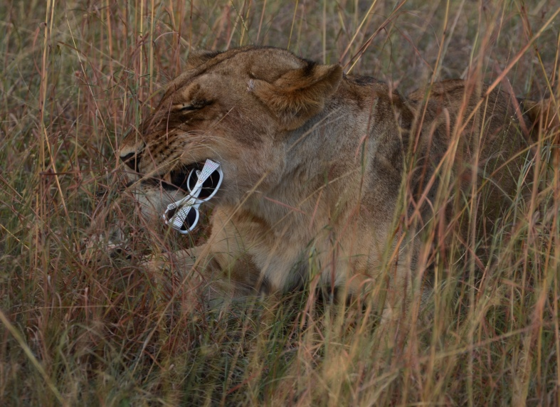 female lion 11
