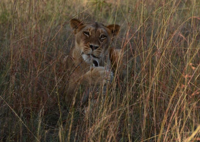 female lion 12
