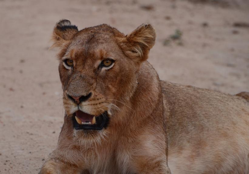 female lion encounter (#2) 5
