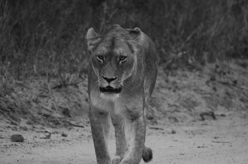 female lion encounter (#2) 6