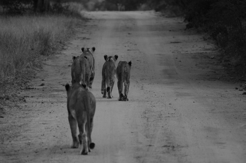 female lion encounter (#2) 8