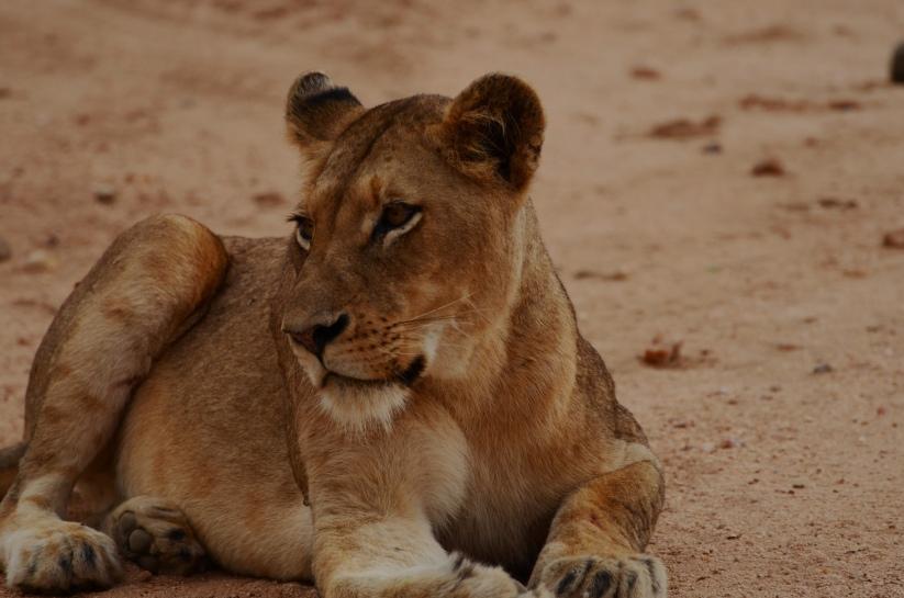 lion cubs 2