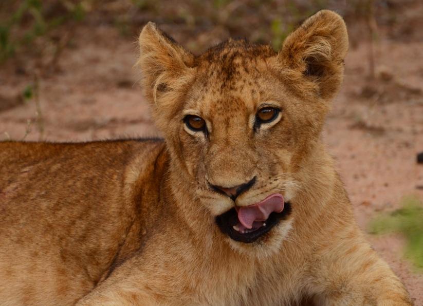 lion cubs 7