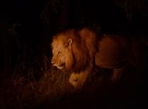 male lion 1