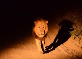 male lion 2