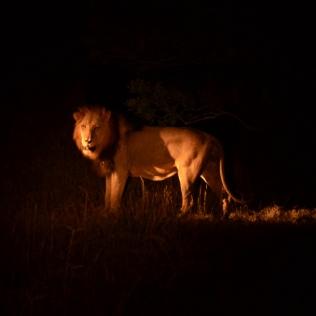 male lion 3