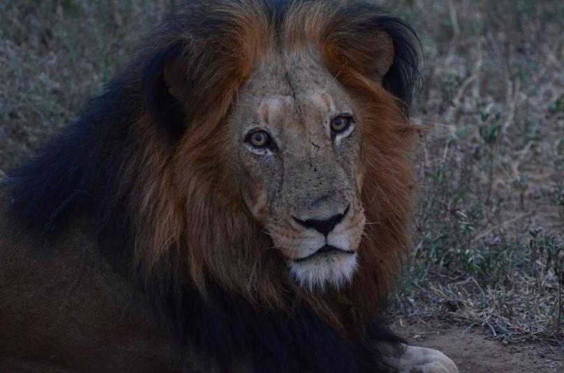 male lion 9