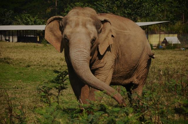 Thailand elephant 3